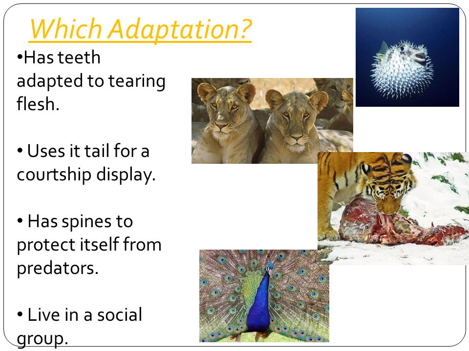 Which Adaptation Has teeth adapted to tearing flesh.
