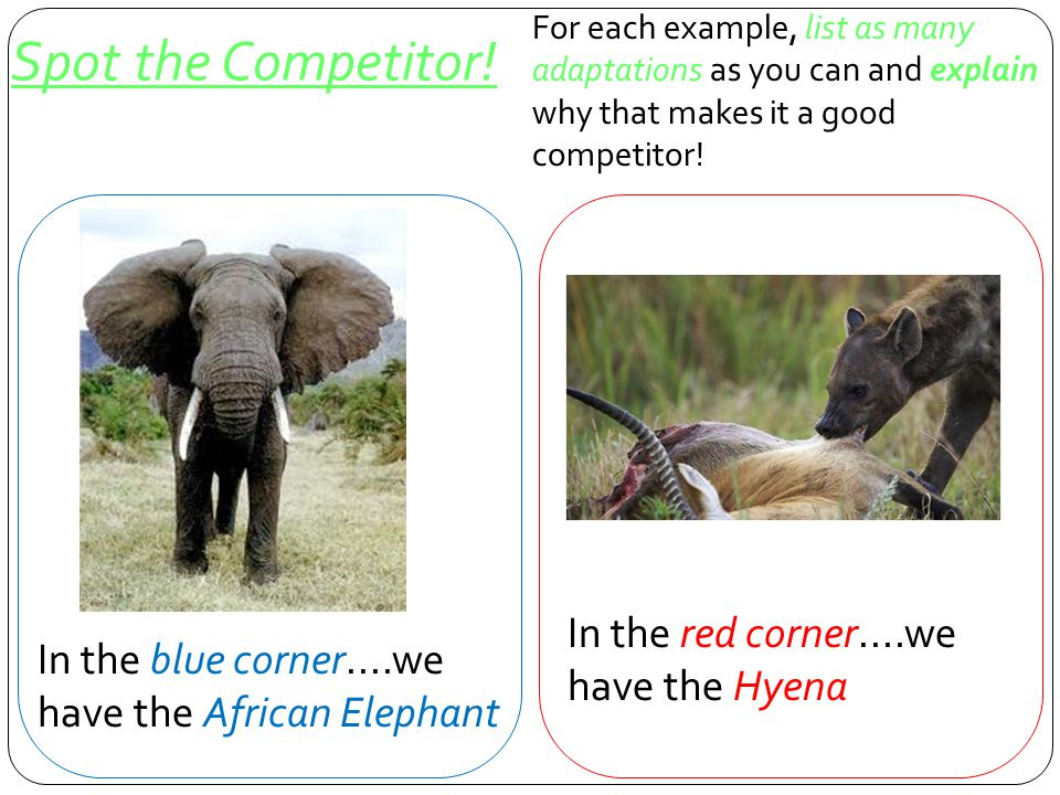 Spot the Competitor! In the red corner....we have the Hyena