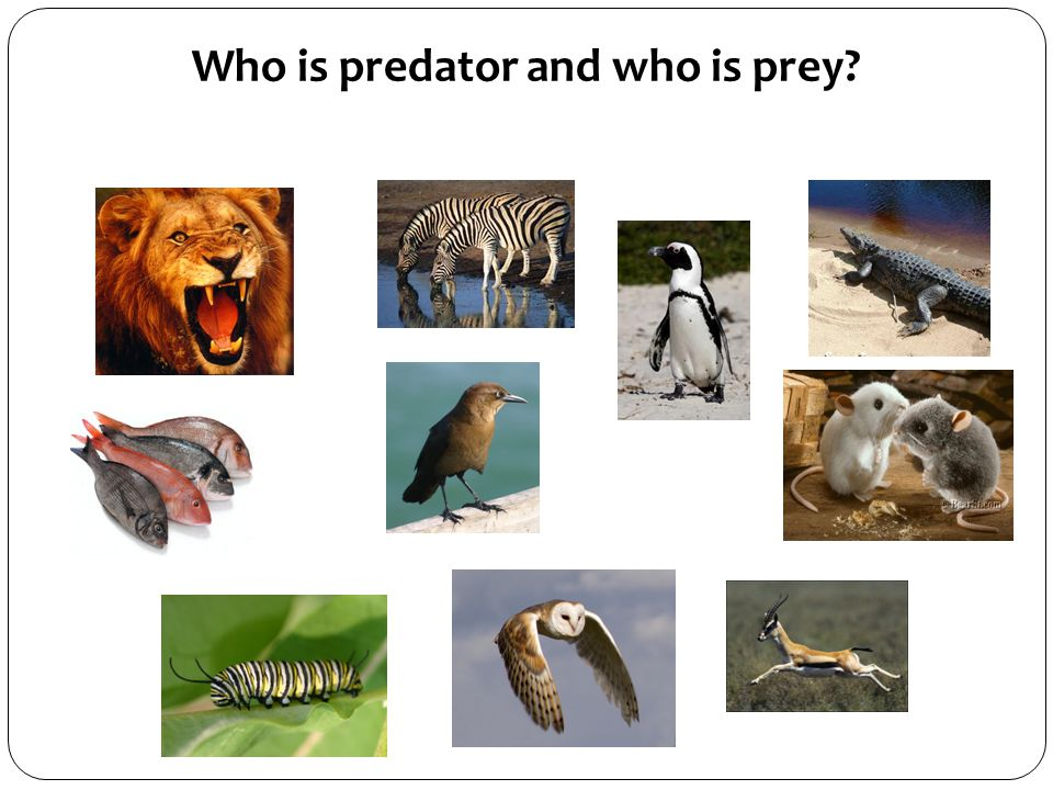 Who is predator and who is prey