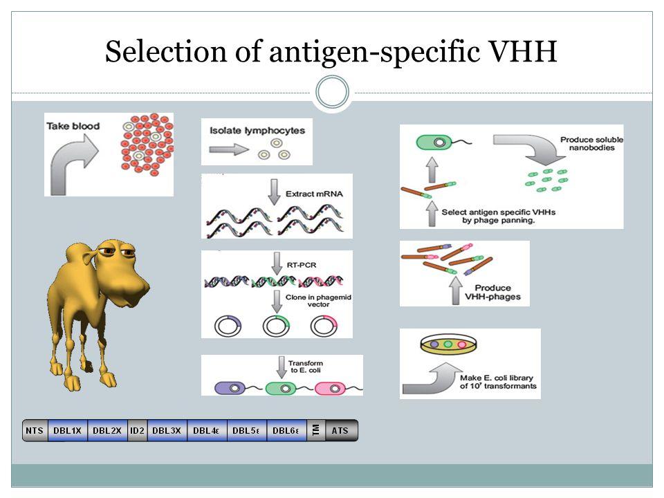 Selection of antigen-specific VHH