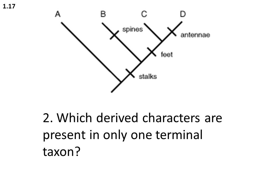 2. Which derived characters are present in only one terminal taxon
