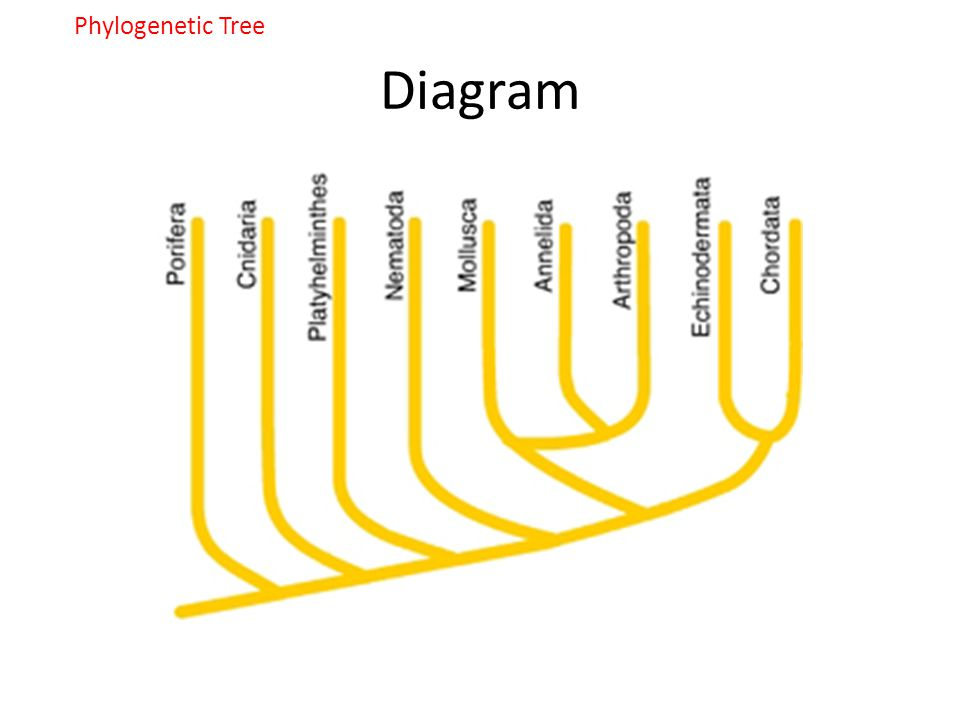 Phylogenetic Tree Diagram