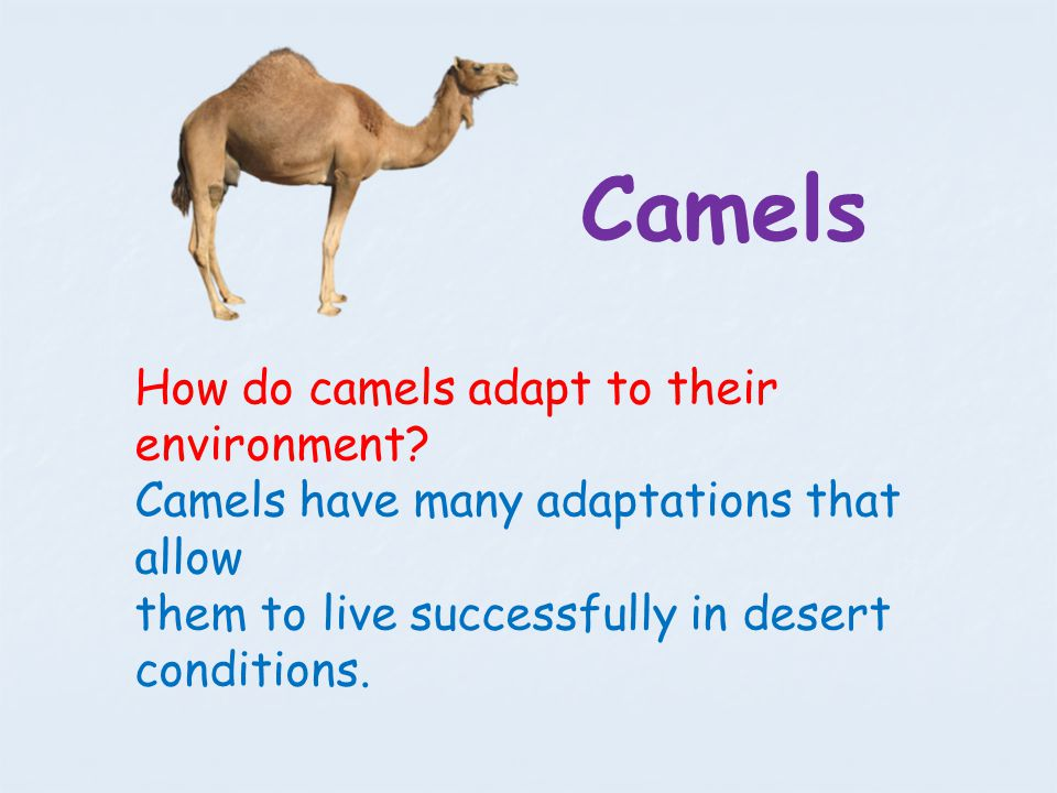 how camels and polar bears adapt The bactrian camels are classified as herbivores  polar bear polar bears live year round near arctic waters hunting seal and other animals,.