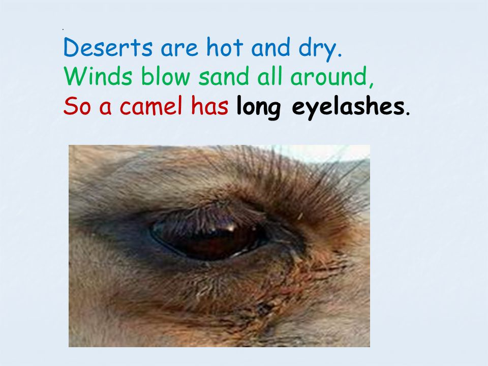 Winds blow sand all around, So a camel has long eyelashes.