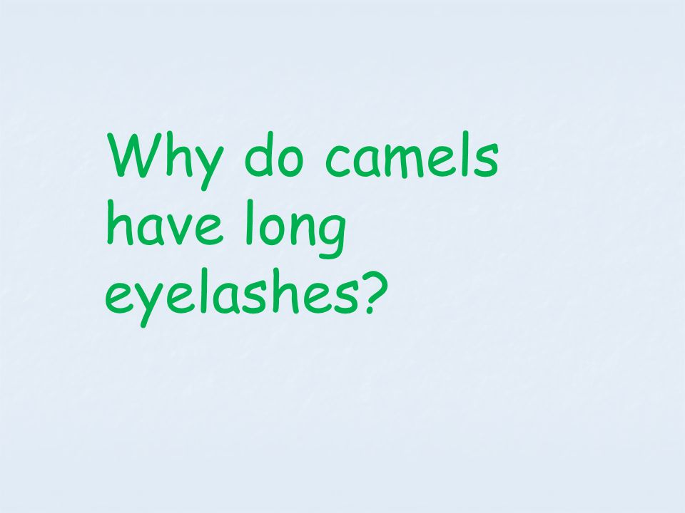 Why do camels have long eyelashes