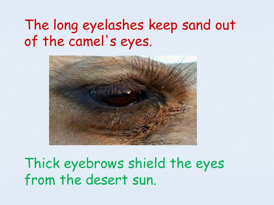 The long eyelashes keep sand out of the camel s eyes.