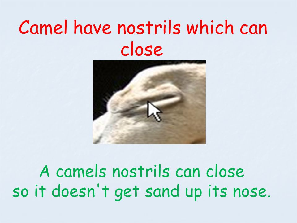 A camels nostrils can close so it doesn t get sand up its nose.