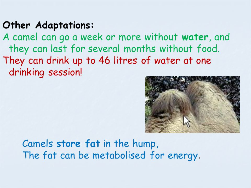 Other Adaptations: A camel can go a week or more without water, and they can last for several months without food.