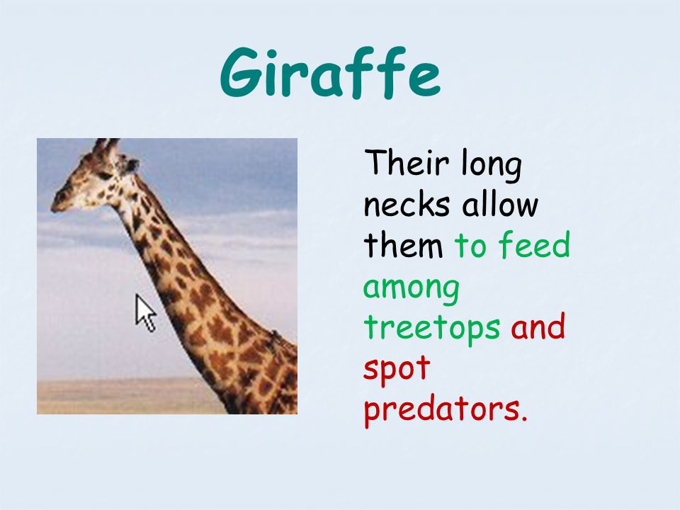 Giraffe Their long necks allow them to feed among treetops and spot predators.