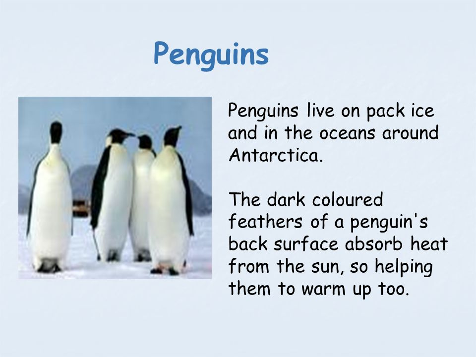 Penguins Penguins live on pack ice and in the oceans around Antarctica.