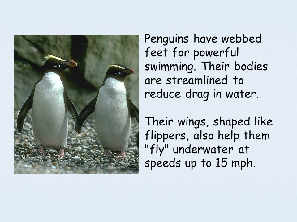 Penguins have webbed feet for powerful swimming