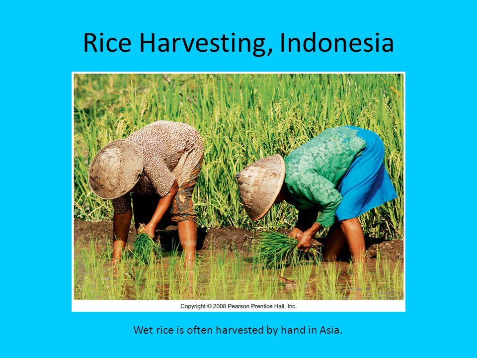 Rice Harvesting, Indonesia