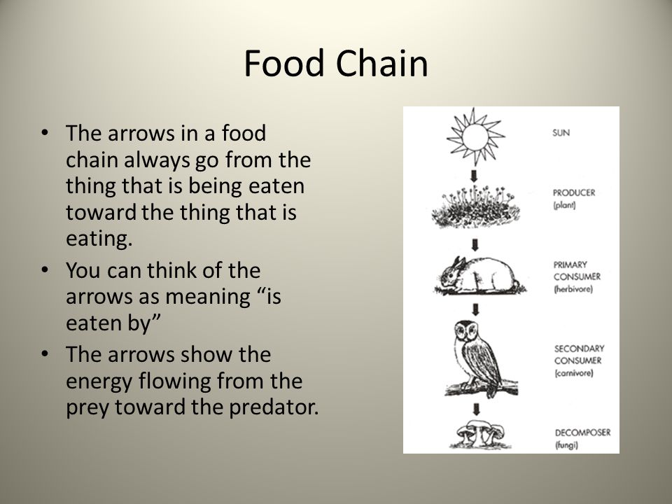 Food Chain The arrows in a food chain always go from the thing that is being eaten toward the thing that is eating.