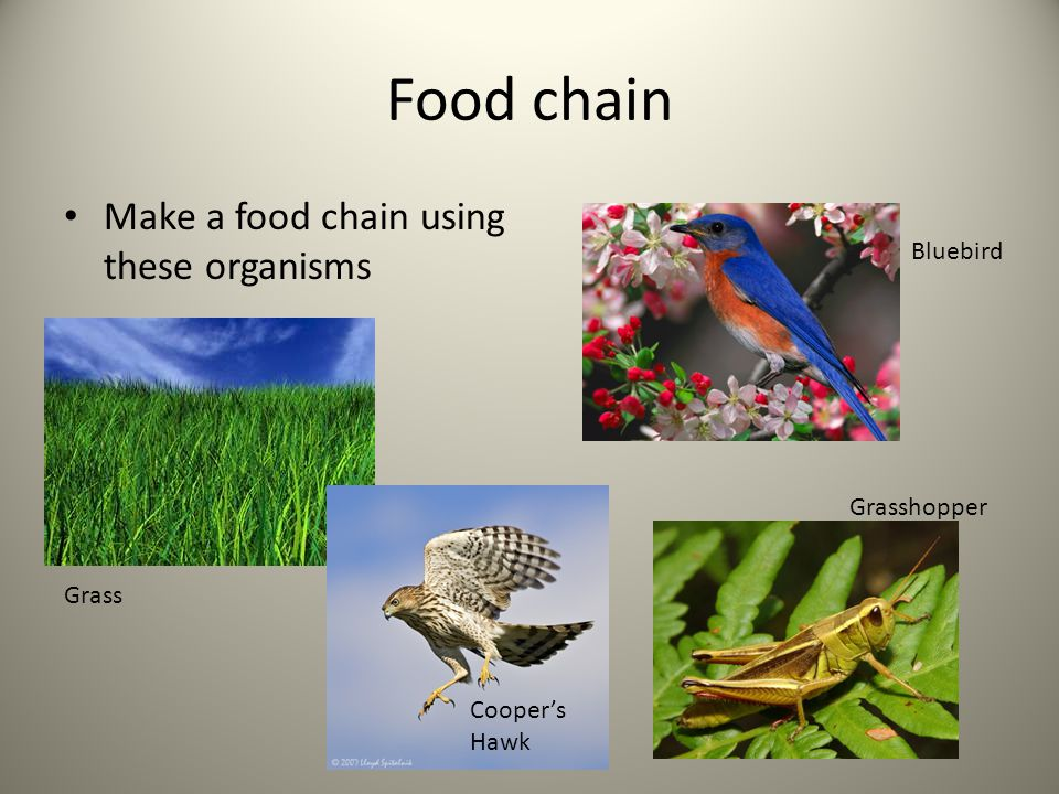 Food chain Make a food chain using these organisms Bluebird