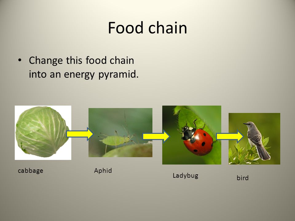 Food chain Change this food chain into an energy pyramid. cabbage