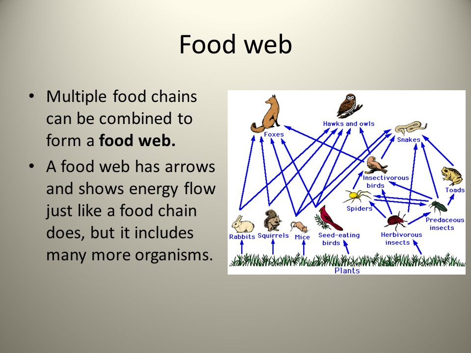 Food web Multiple food chains can be combined to form a food web.