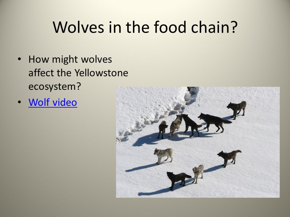Wolves in the food chain