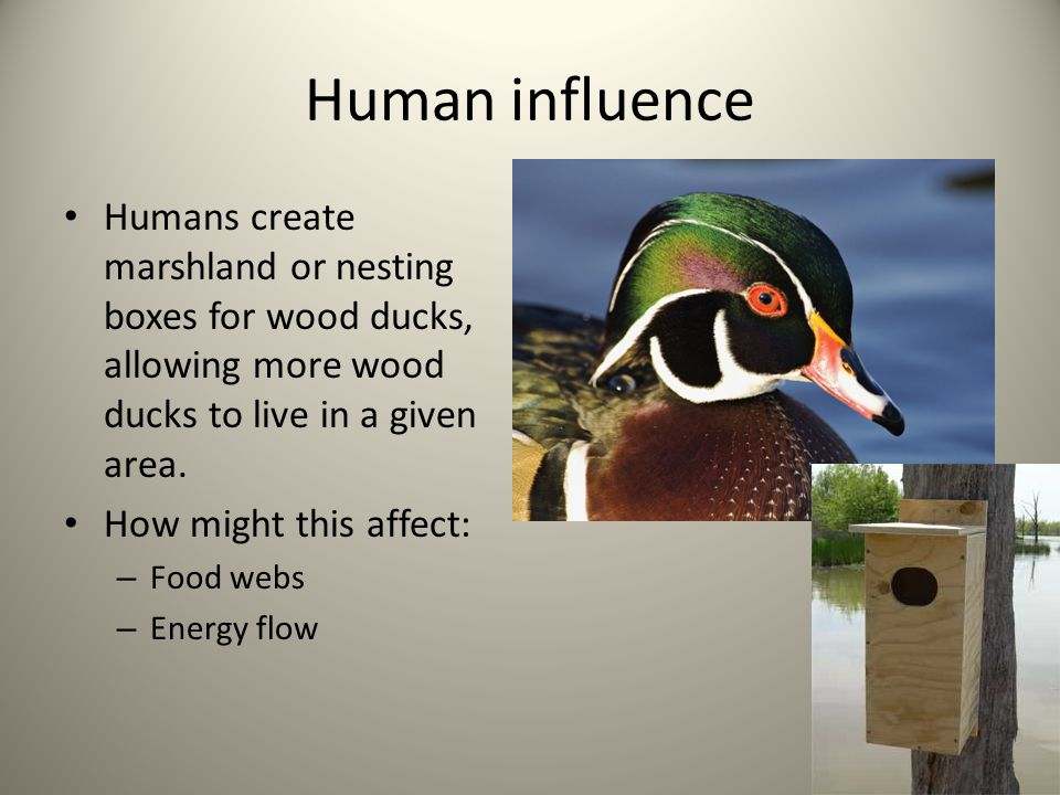 Human influence Humans create marshland or nesting boxes for wood ducks, allowing more wood ducks to live in a given area.