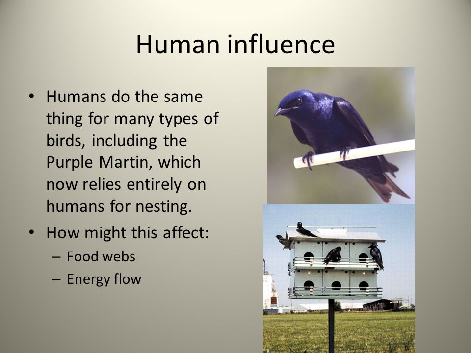 Human influence Humans do the same thing for many types of birds, including the Purple Martin, which now relies entirely on humans for nesting.