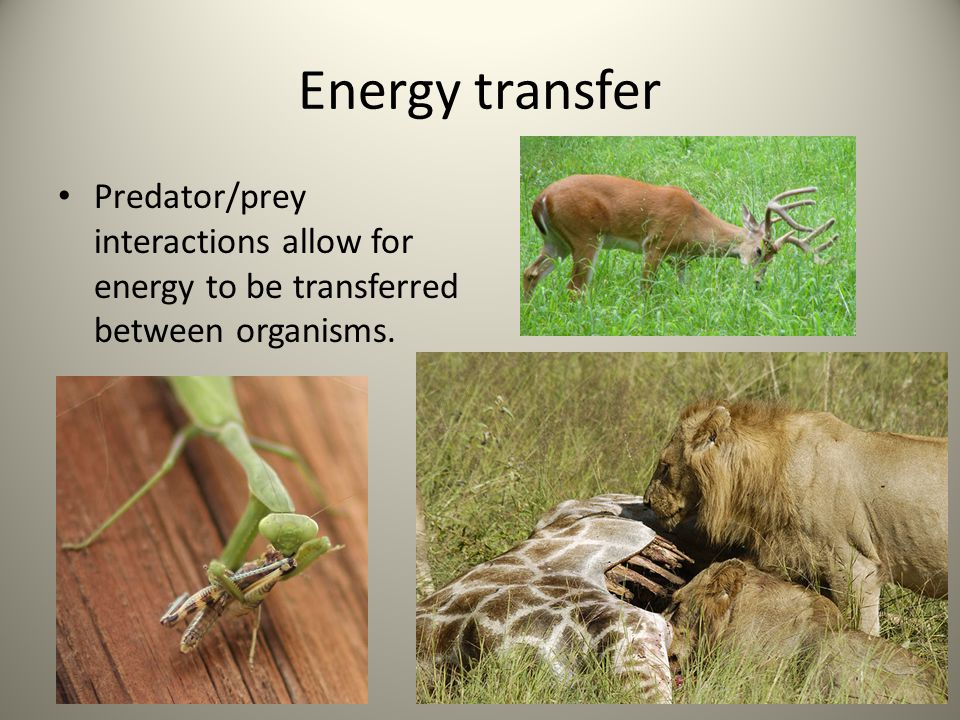 Energy transfer Predator/prey interactions allow for energy to be transferred between organisms.