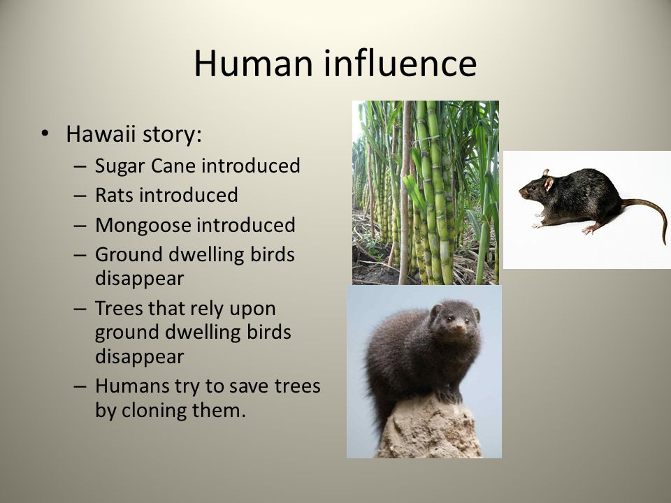 Human influence Hawaii story: Sugar Cane introduced Rats introduced