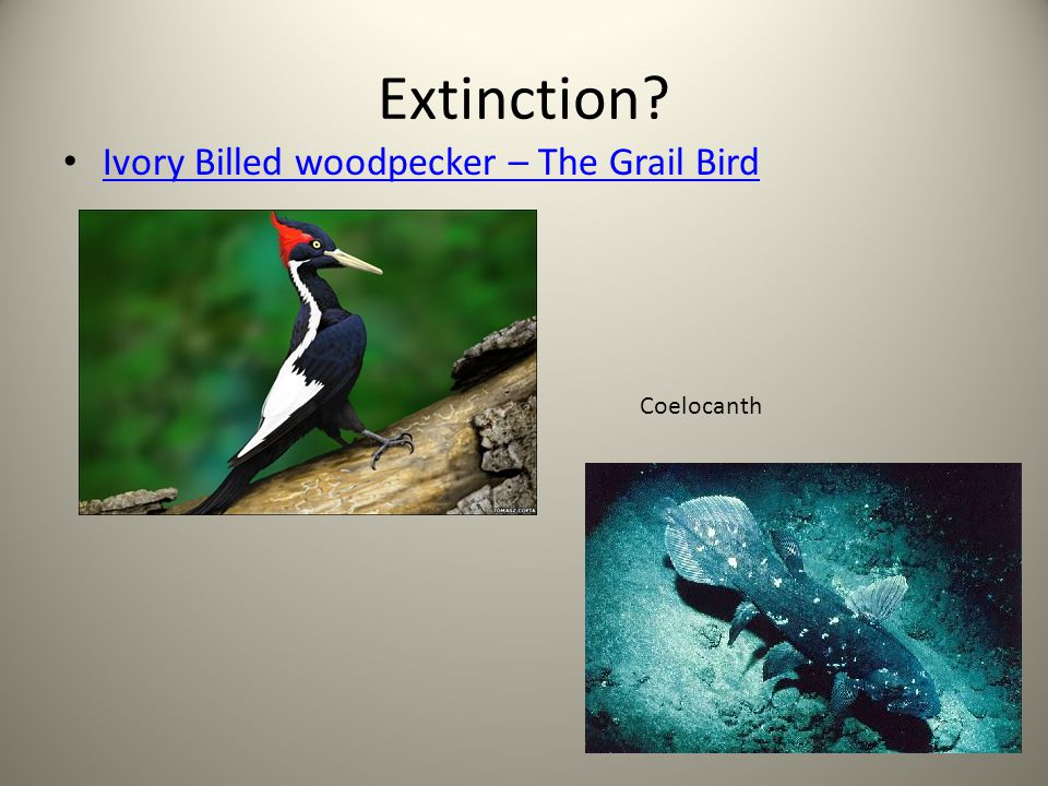 Extinction Ivory Billed woodpecker – The Grail Bird Coelocanth