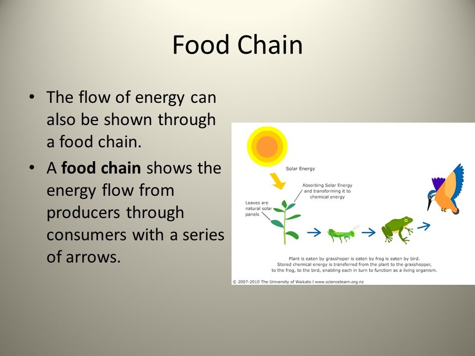 Food Chain The flow of energy can also be shown through a food chain.