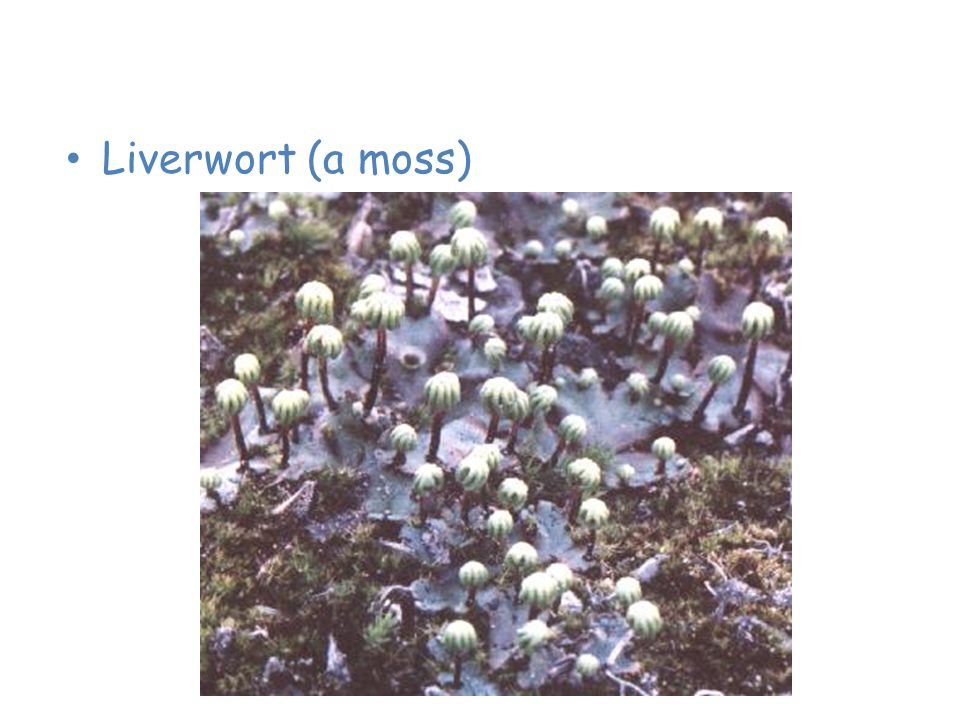 Plants of the Taiga Liverwort (a moss)