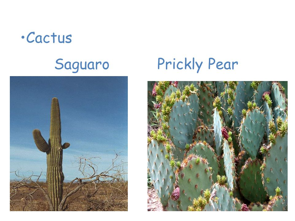 Plants of the Desert Cactus Saguaro Prickly Pear
