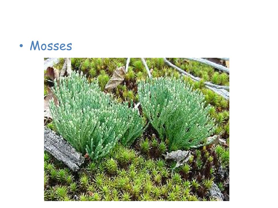 Plants of the Taiga Mosses