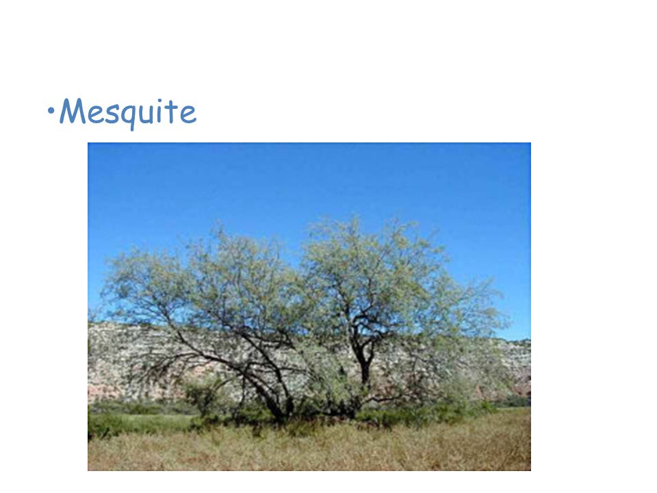 Plants of the Desert Mesquite