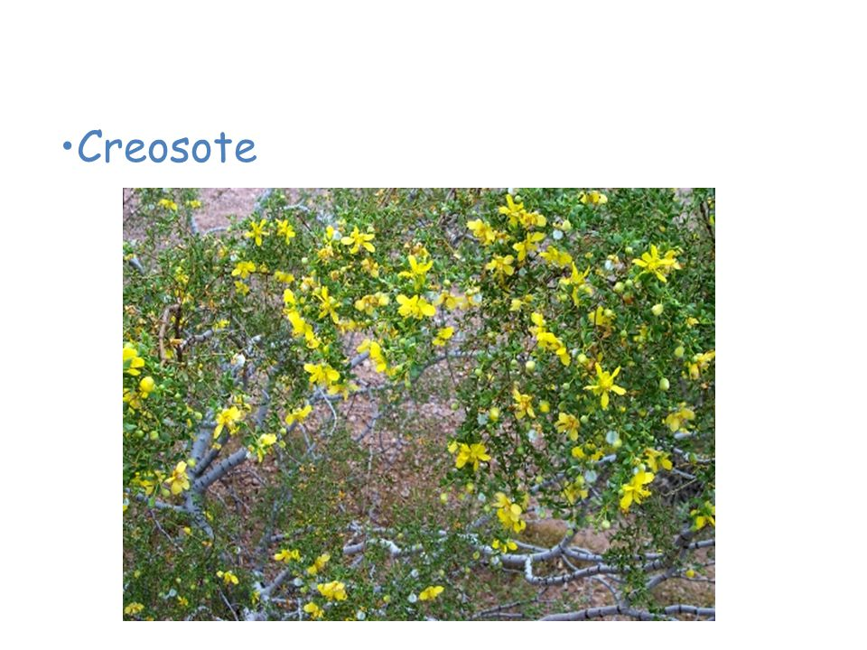 Plants of the Desert Creosote