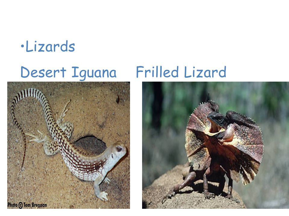 Animals of the Desert Lizards Desert Iguana Frilled Lizard