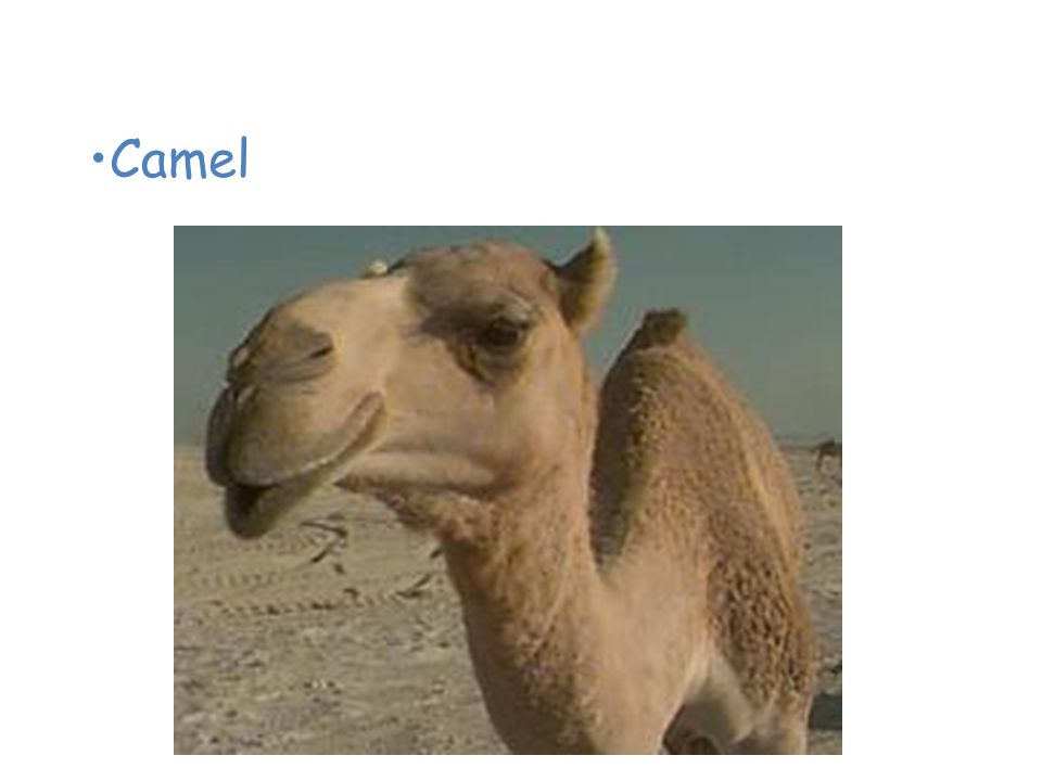 Animals of the Desert Camel