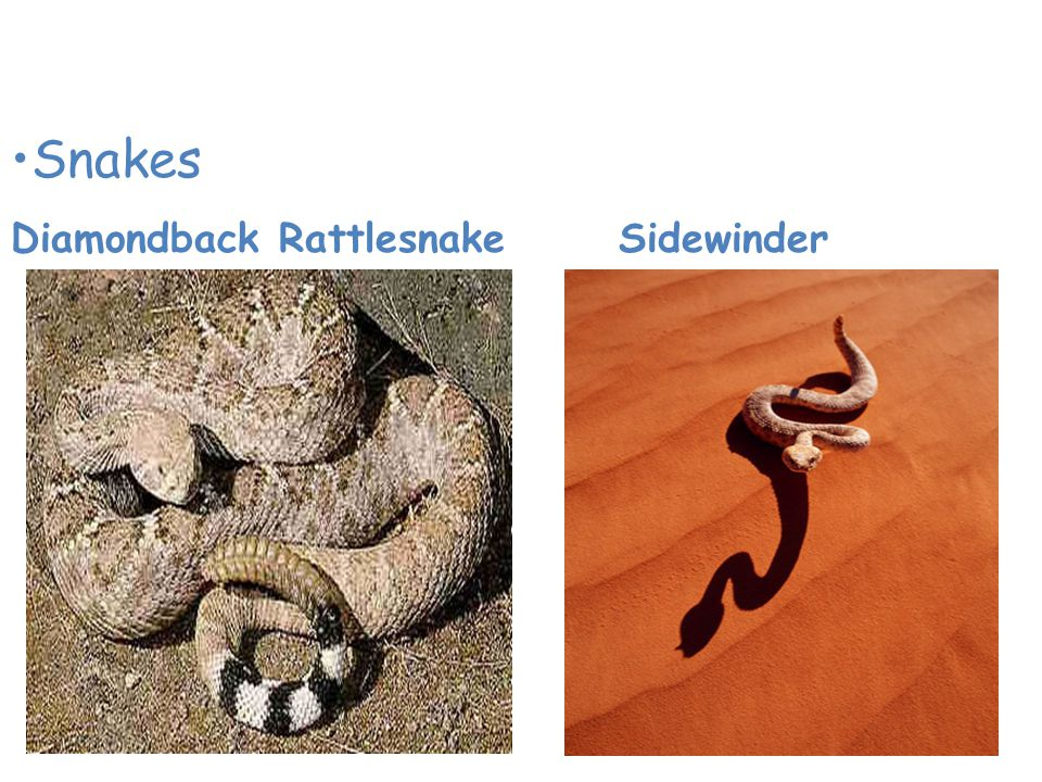 Animals of the Desert Snakes Diamondback Rattlesnake Sidewinder
