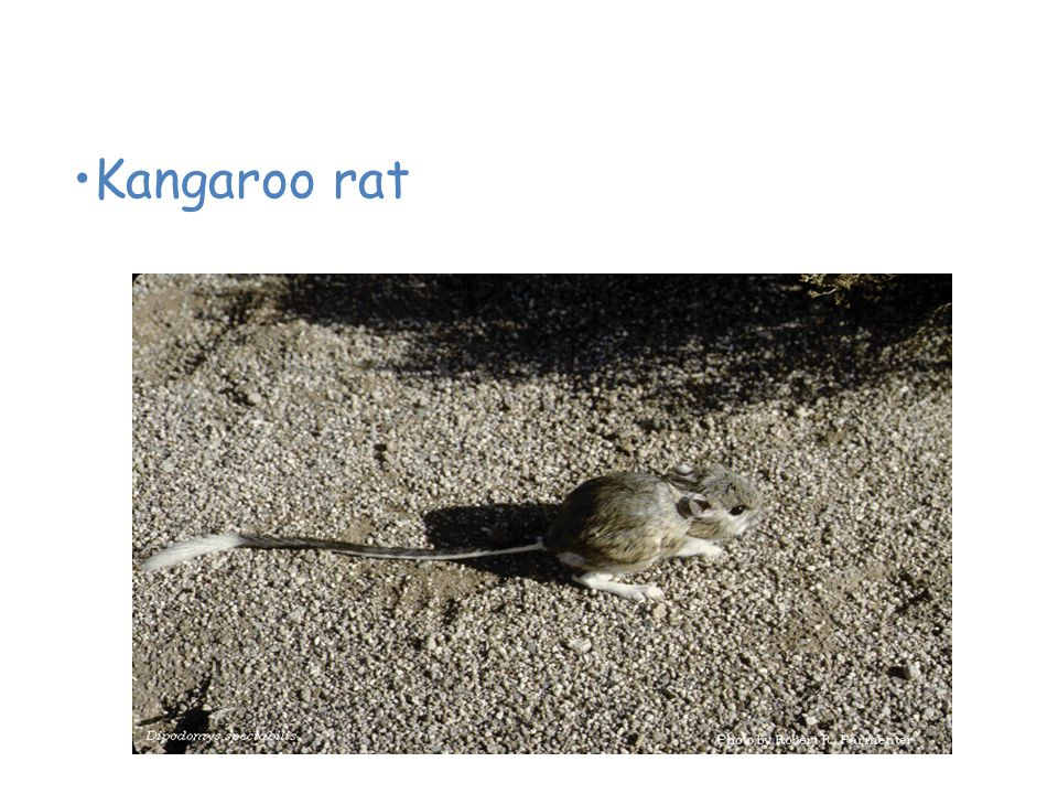 Animals of the Desert Kangaroo rat
