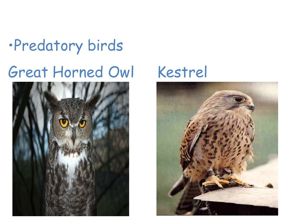 Animals of the Desert Predatory birds Great Horned Owl Kestrel