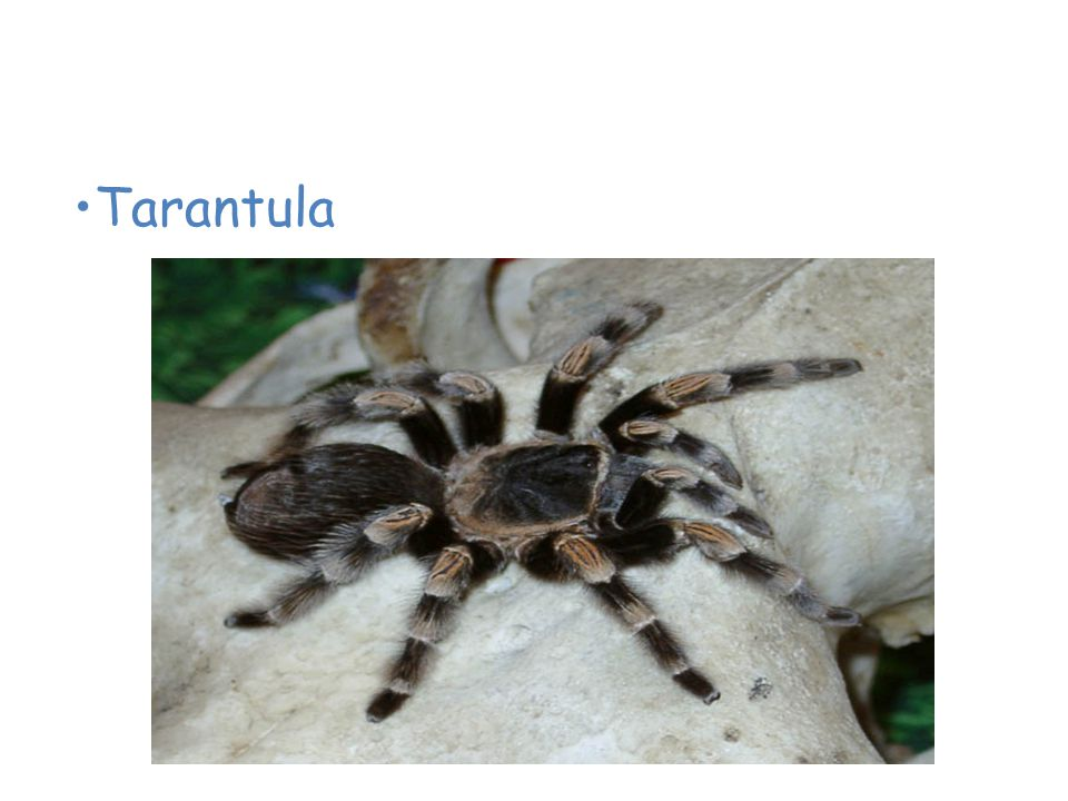 Animals of the Desert Tarantula