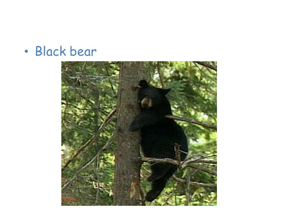 Animals of the Taiga Black bear