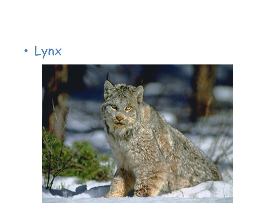 Animals of the Taiga Lynx