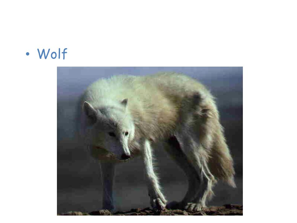 Animals of the Taiga Wolf