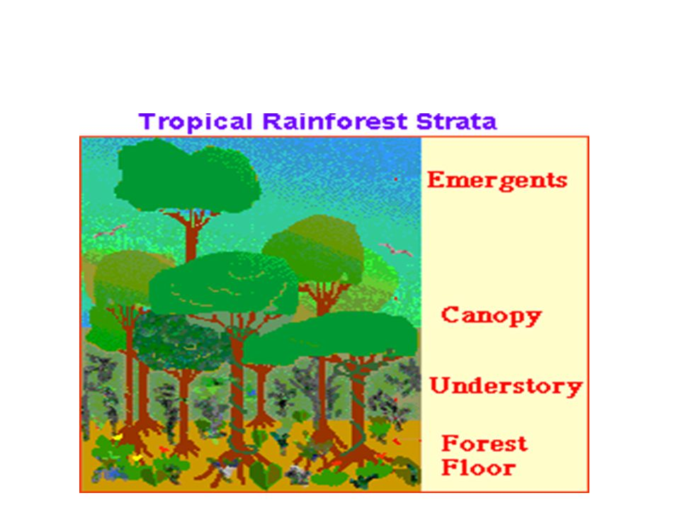 Tropical Rain Forest Layers of Vegetation