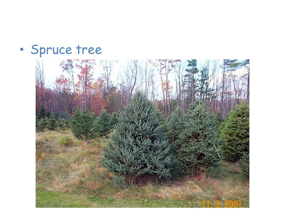 Plants of the Taiga Spruce tree