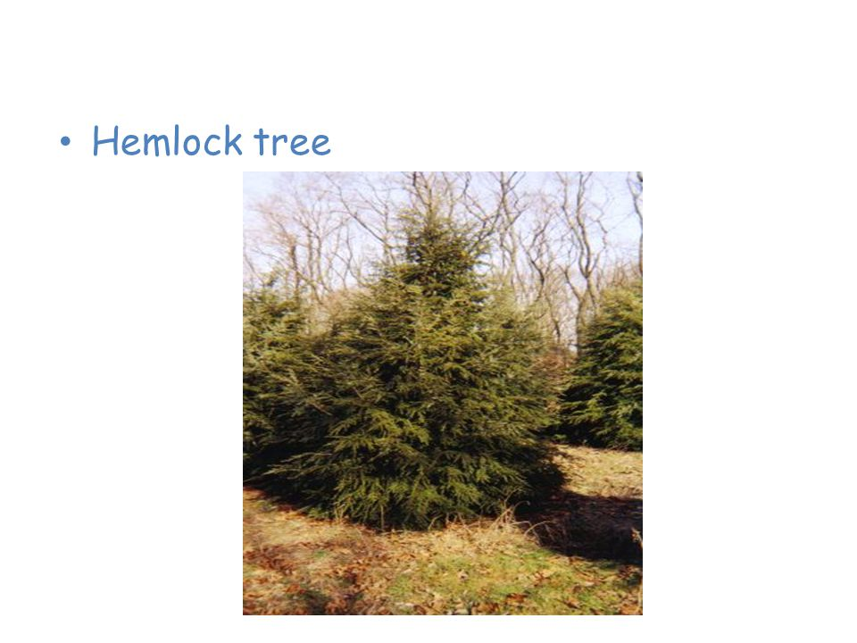 Plants of the Taiga Hemlock tree