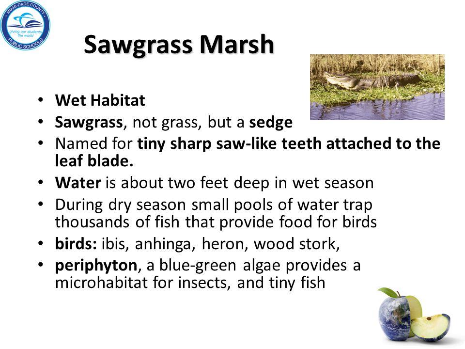 Sawgrass Marsh Wet Habitat Sawgrass, not grass, but a sedge