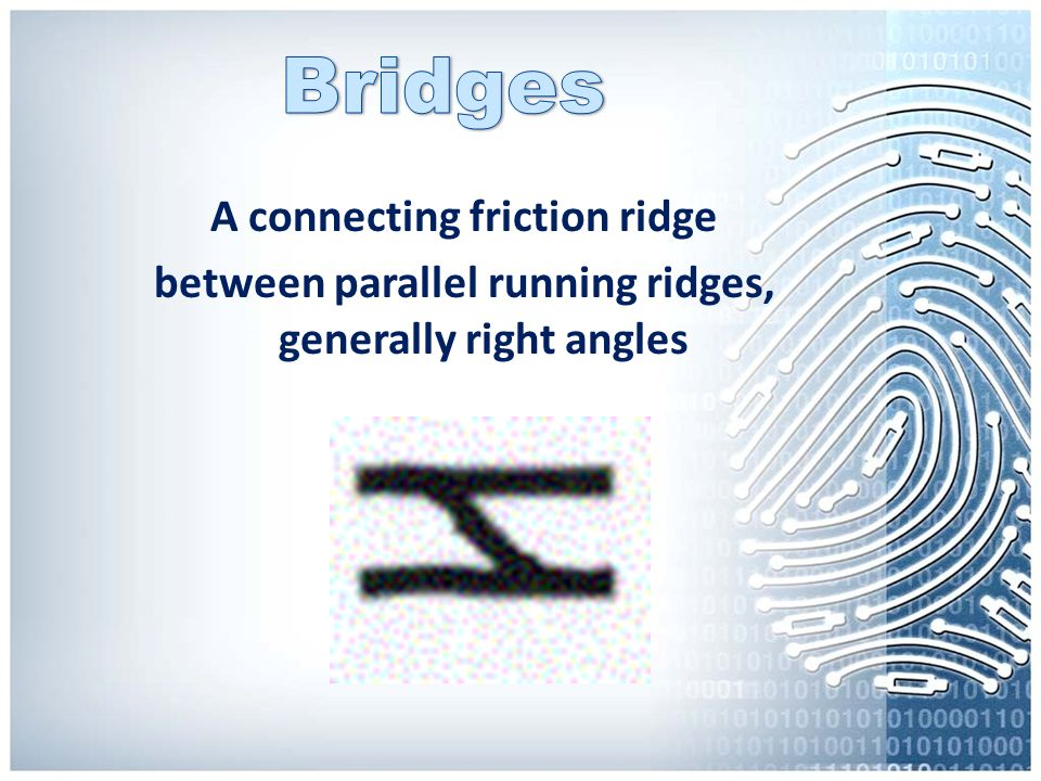 Bridges A connecting friction ridge