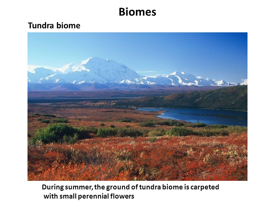Biomes Tundra biome. During summer, the ground of tundra biome is carpeted.