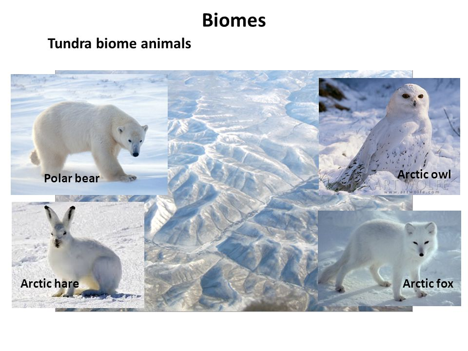 Biomes Tundra biome animals Arctic owl Polar bear Arctic hare