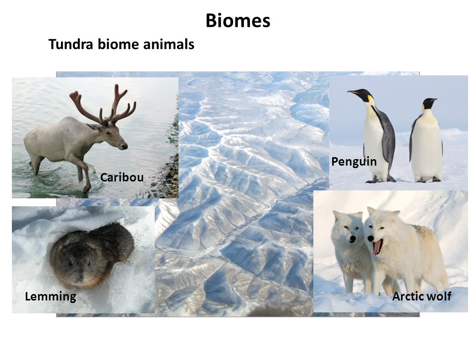 Biomes Tundra biome animals Penguin Caribou Lemming Arctic wolf