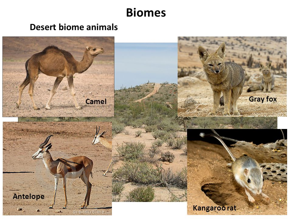Biomes Desert biome animals Gray fox Camel Antelope Kangaroo rat